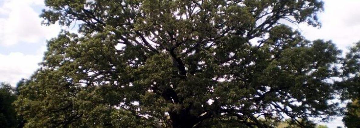 sick oak tree in new jersey